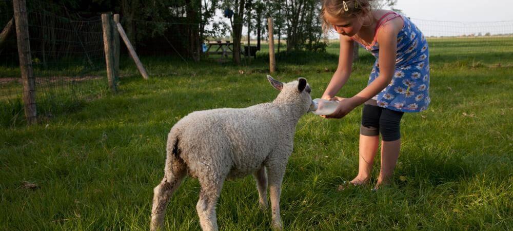Help with feeding the lambs!