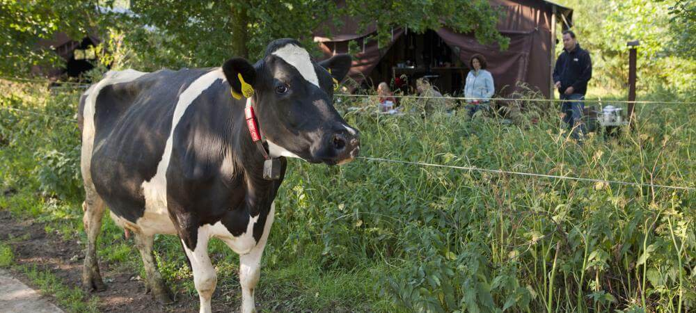 Come and meet the curious cows