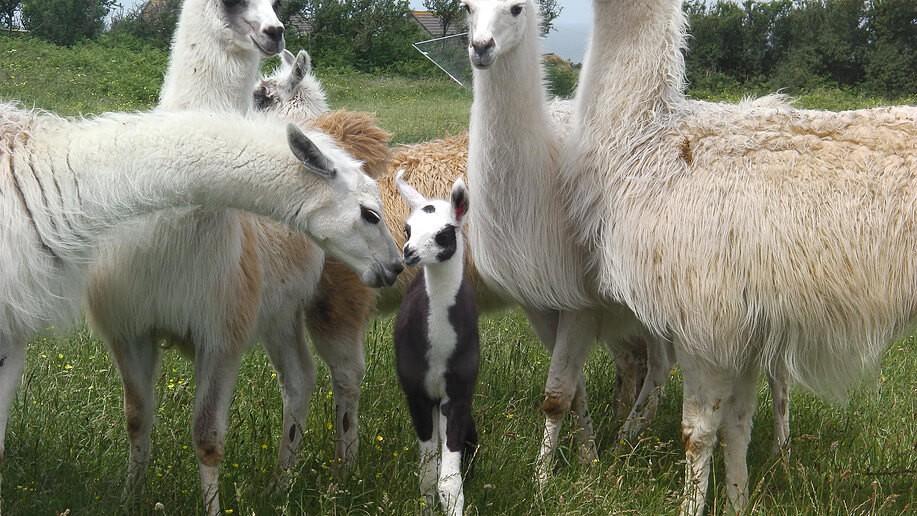Nearby Llama farm