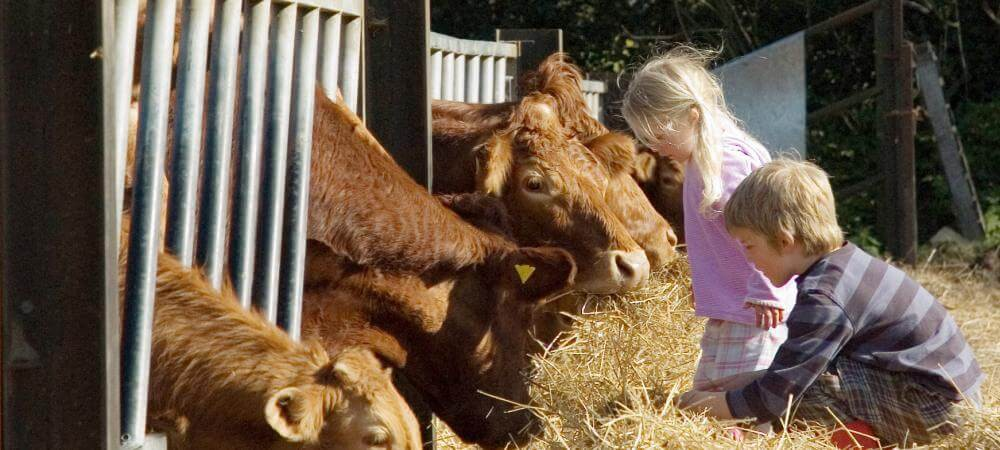 The cows love to meet kids!