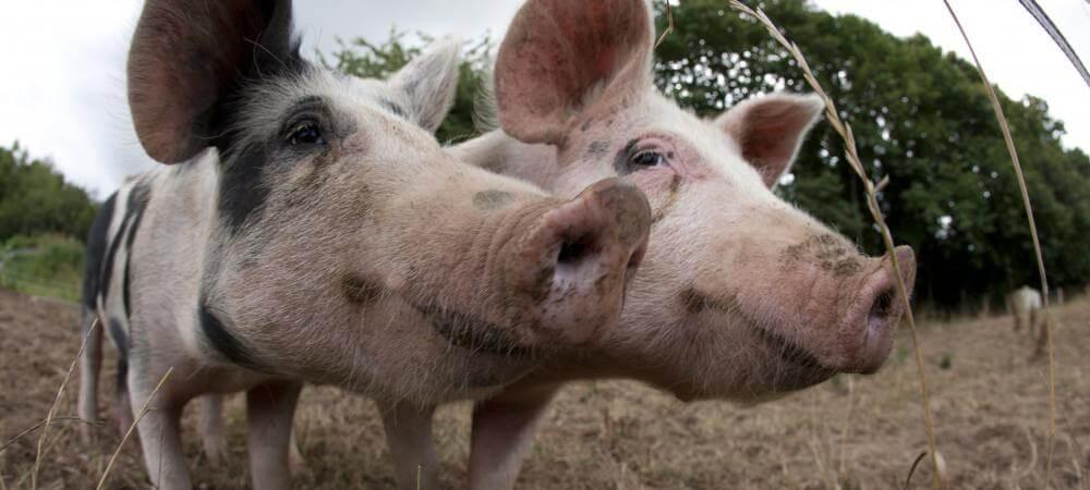 Meet the friendly pigs