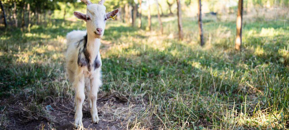Come and meet he goats