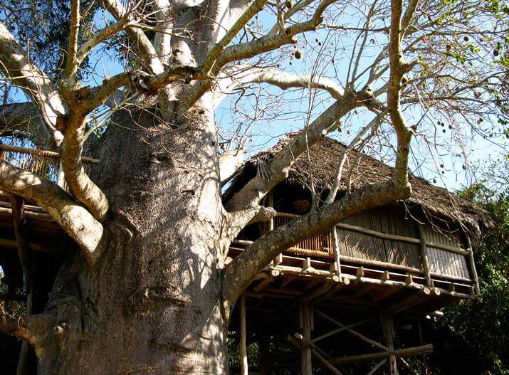 Tree house in baobab tree