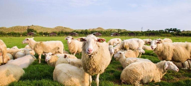 Meet the sheep!
