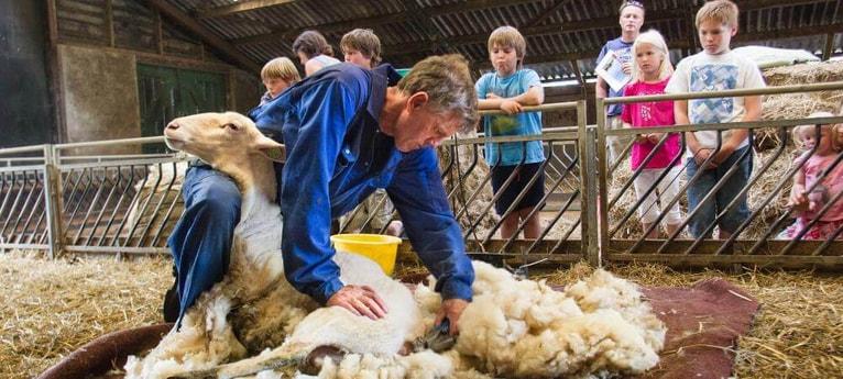 Watch the sheep being sheared