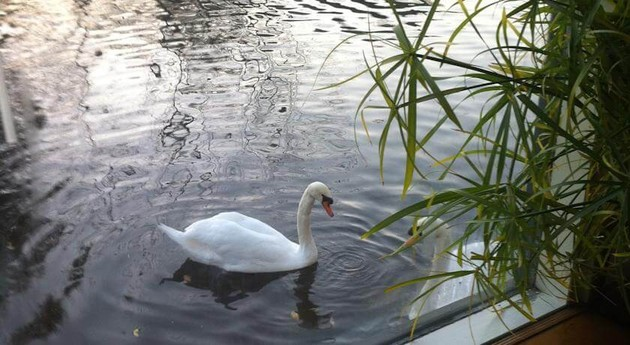 Say hello to the swans
