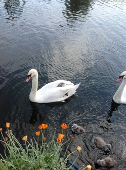 our swans