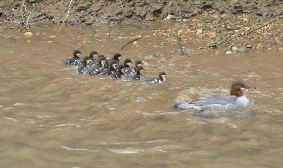 A grebe family.