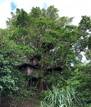 Welcome to the Utila Treehouse, a hand-crafted work of art in a beautiful fig tree.