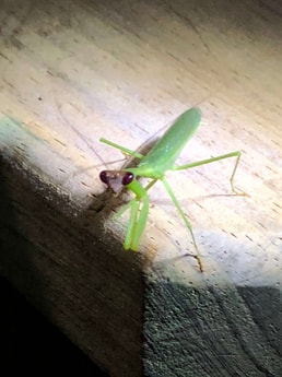 Treehouse praying mantis. Gorgeous visitors.
